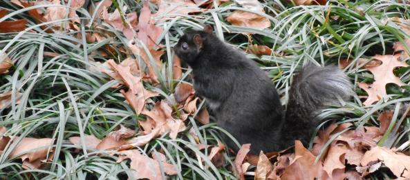 esquilo preto